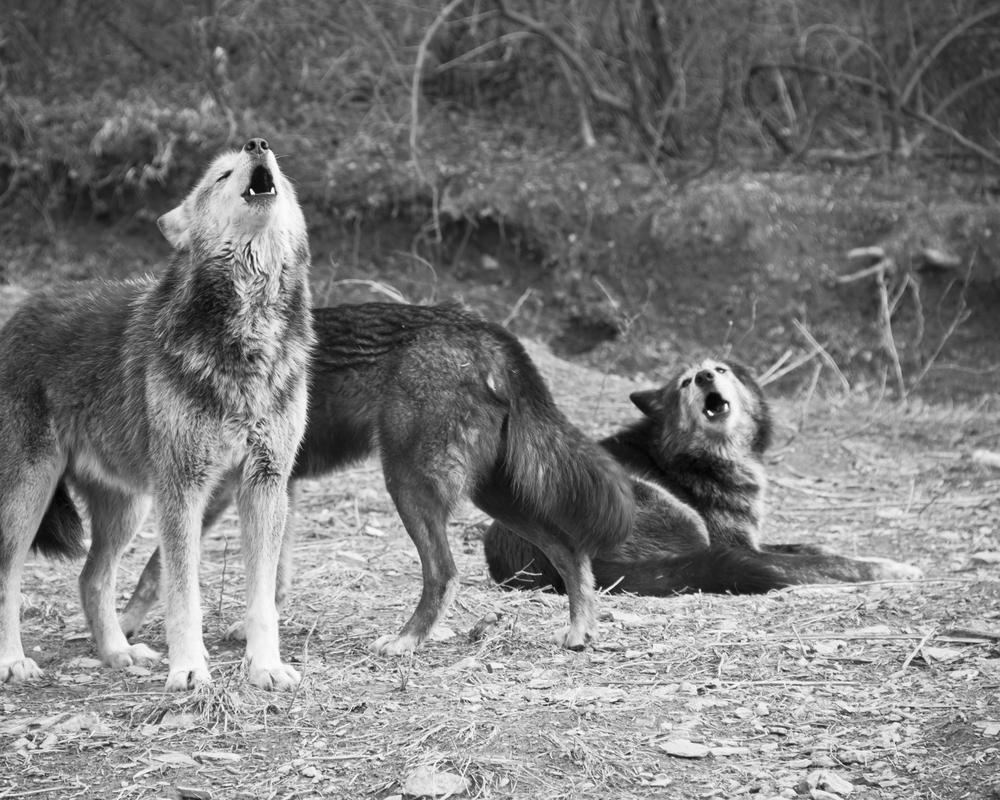 Wolf-24.jpg