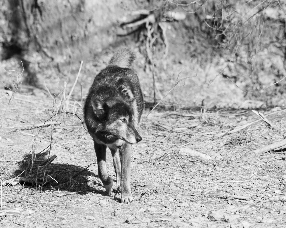 Wolf-25.jpg