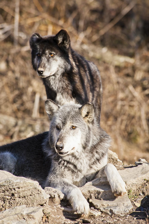 Wolf-30.jpg