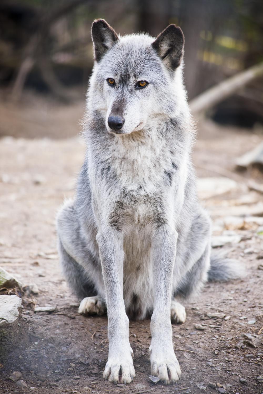 Wolf-31.jpg