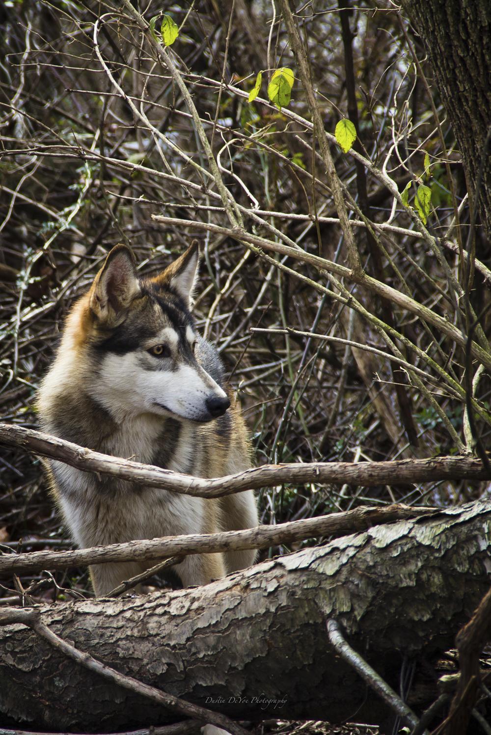Wolf-33.jpg