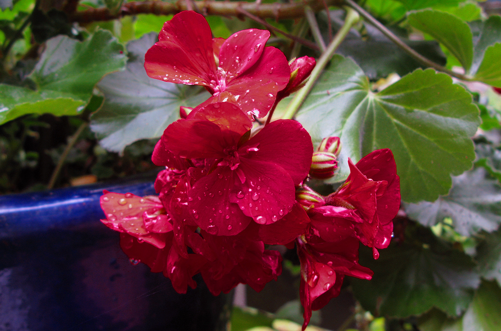 geraniums - detail