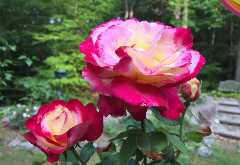 doug's rose