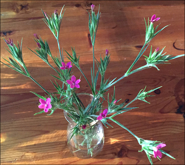 "NEWS FLASH :: THESE FLOWERS HAVE BEEN IDENTIFIED AS DIANTHUS DELTOIDES. THANK YOU, MISSY STEVENS - VISIT MISSY's WEBSITE TO SEE HER GORGEOUS ""THREAD PAINTINGS."""