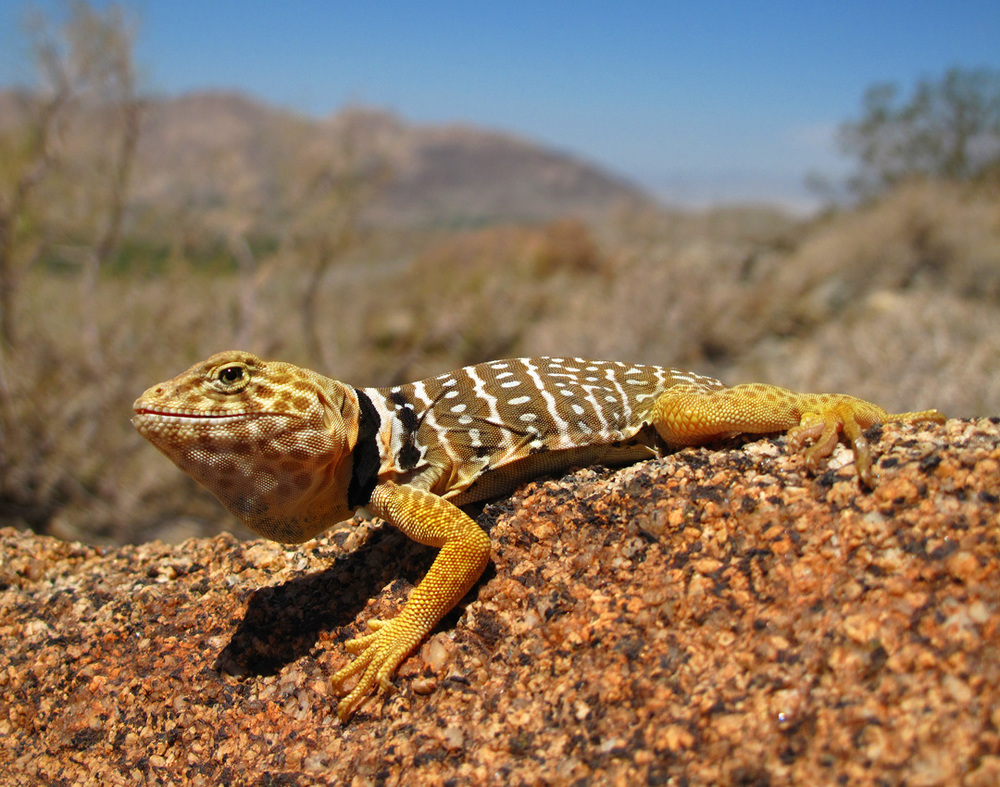 Young Male Baja Collared Lizard (Crotaphytus Vestigium)