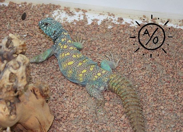 This male #ornateuromastyx was imported earlier this year. He's adjusted slowly but today he chose to hold still instead of bail for the nearest hide when I walked by his pen. Patience and research are the 2 keys in working with #uromastyx in captivity. #aridsonly #ornateuromastyx #uromastyxornata #ornatemastigure #lizards #reptiles