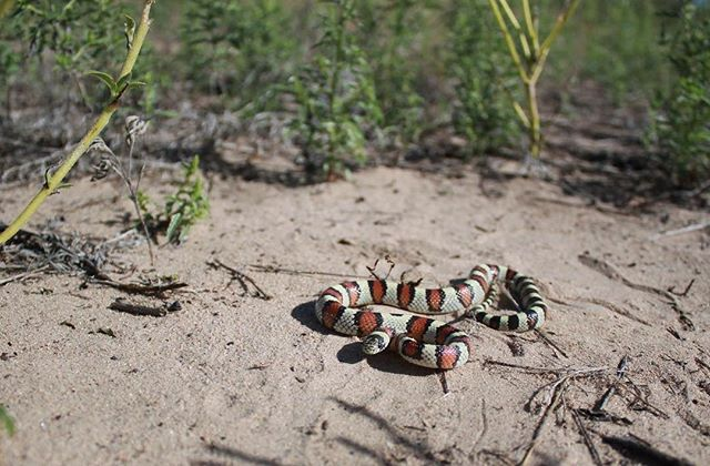 Here's a #milksnake I found while #herping early last year out here in #colorado I can't wait for the warmer weather to come back! #reptiles #snakes #aridsonly #fieldherping