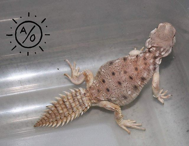 Baby Uromastyx princeps 😎 possibly the coolest #species of #Uromastyx :) #reptiles #lizards #herpetoculture #uromastyxprinceps #princeps