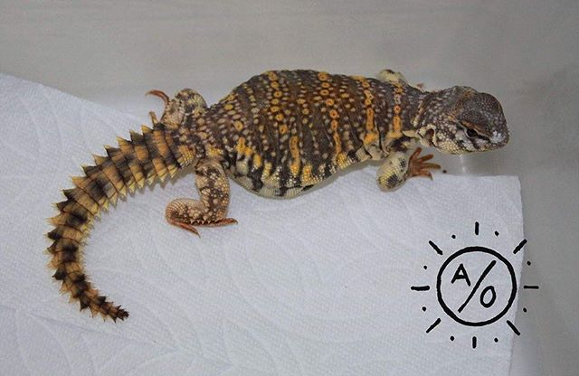 FOR SALE: I have 2 probable male U. geyri yellow form. They are 250 each plus shipping, DM to purchase, thank you! #aridsonly #uromastyx #uromastyxgeyri #uromastyxforsale #lizards #reptiles
