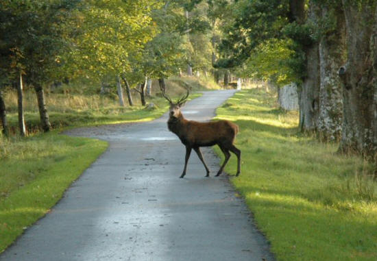 Stag_at_Applecross.jpg