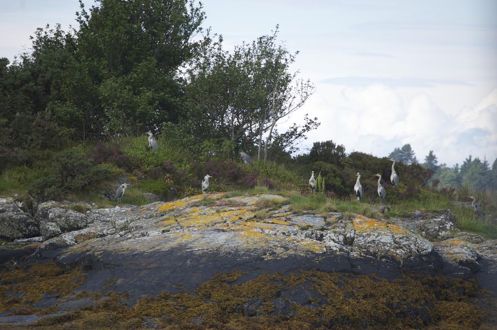 Natural herons 4.jpg