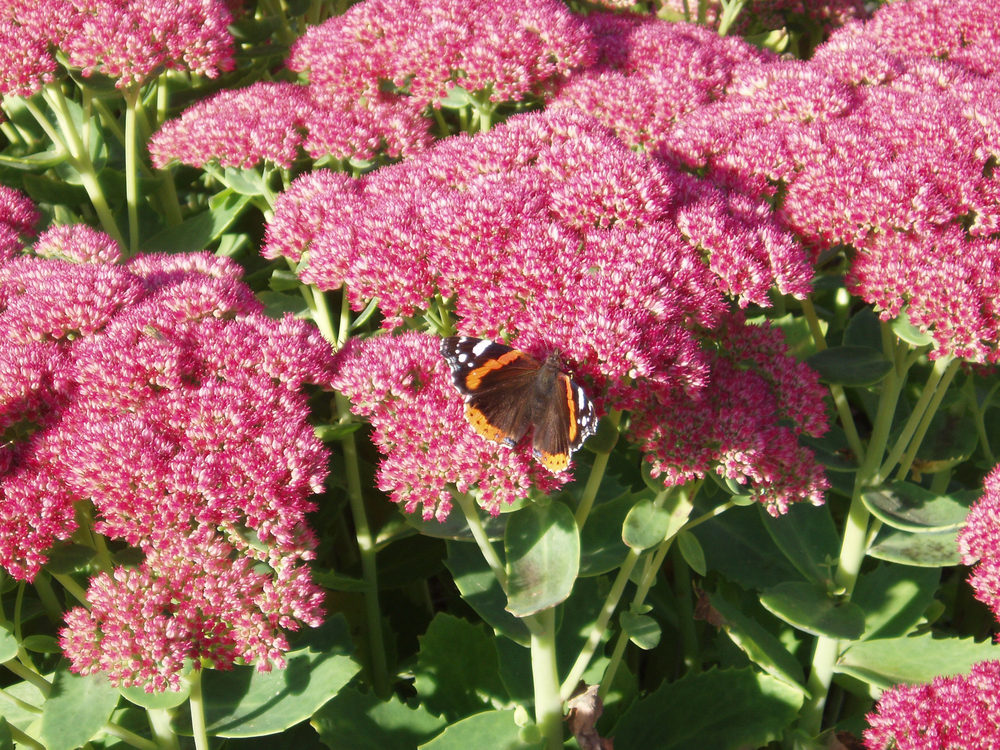 Natural - Red Admiral butterfly on sedum.jpg