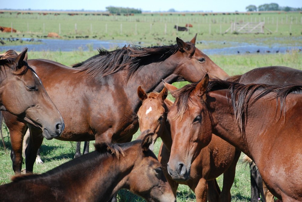 Brood Mares  Federico's Brood Mares have all had successful playing careers including mares that have played in the Argentine Open. They should prove that they can transmit their temperament and ability to play.