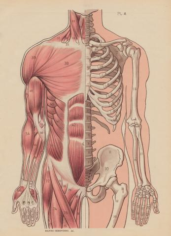anatomical-half-whereapy%20copy.jpg
