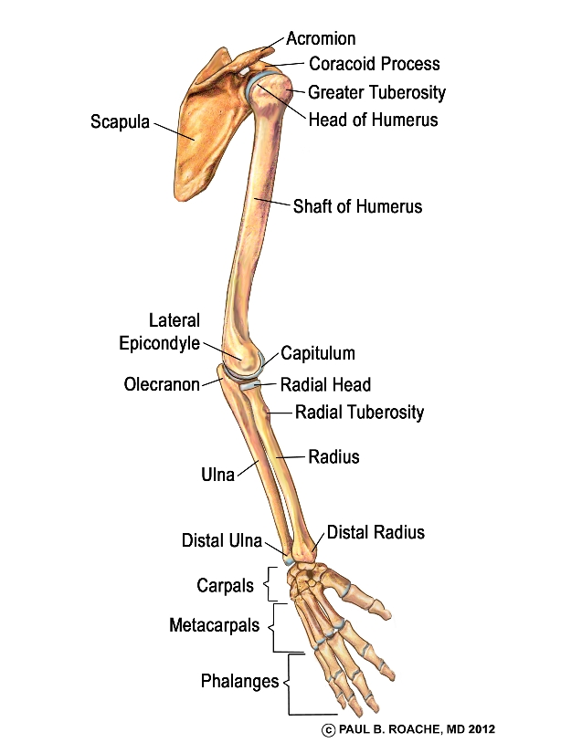 bones of the arm and forearm — musicians' health collective, Human Body