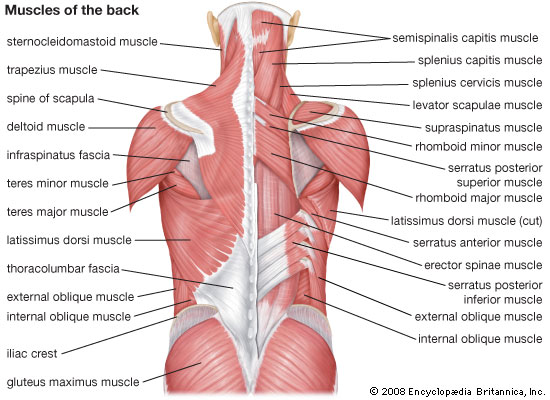 A detailed look at the muscles of the back and shoulders, courtesy of Encyclopedia Brittanica.  The left view is the topical view, sans epidermis, and the view on the right peels one layer of back myofascia off to look deeper.