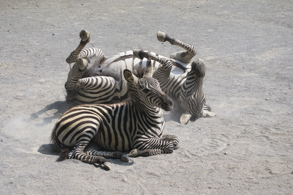 I took this picture at a zoo last year- I loved the one sedentary zebra juxtaposed with the crazy rolling zebra.  We tend to be a teensy bit sedentary which affects our range of motion and flexibility-lets move more, folks!