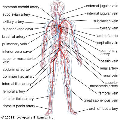 Most of us think of the heart as the sole mover of blood, but what about our muscle movement?  Katy Bowman suggests that the heart is not the only mover of oxygenated blood in the body!  (Image from Encyclopedia Brittanica)