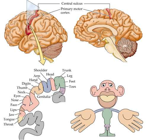 "This curious illustration shows where the body map ""lives"" within the structure of the brain, but also the disproportionate nature of the map, .i.e., not all areas of the body have the same quantity of nerve receptors and awareness.  Image courtesy of   Neurocirugia."