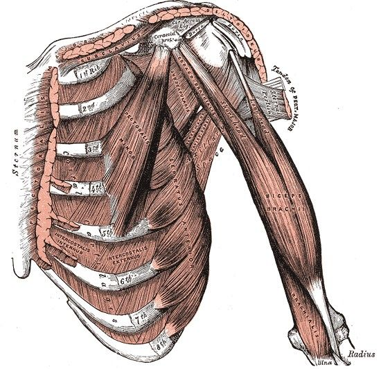 With this image from gray's anatomy, you can see the pectoral minor.