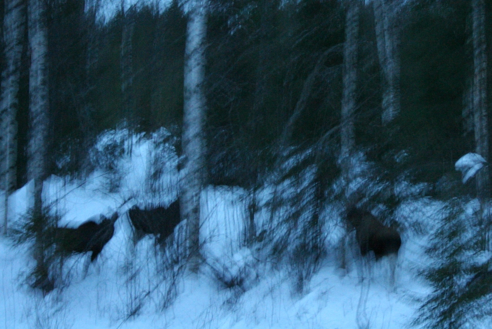 The three large black blobs are the moose we saw on our way from Rovaniemi to Kuusamo.