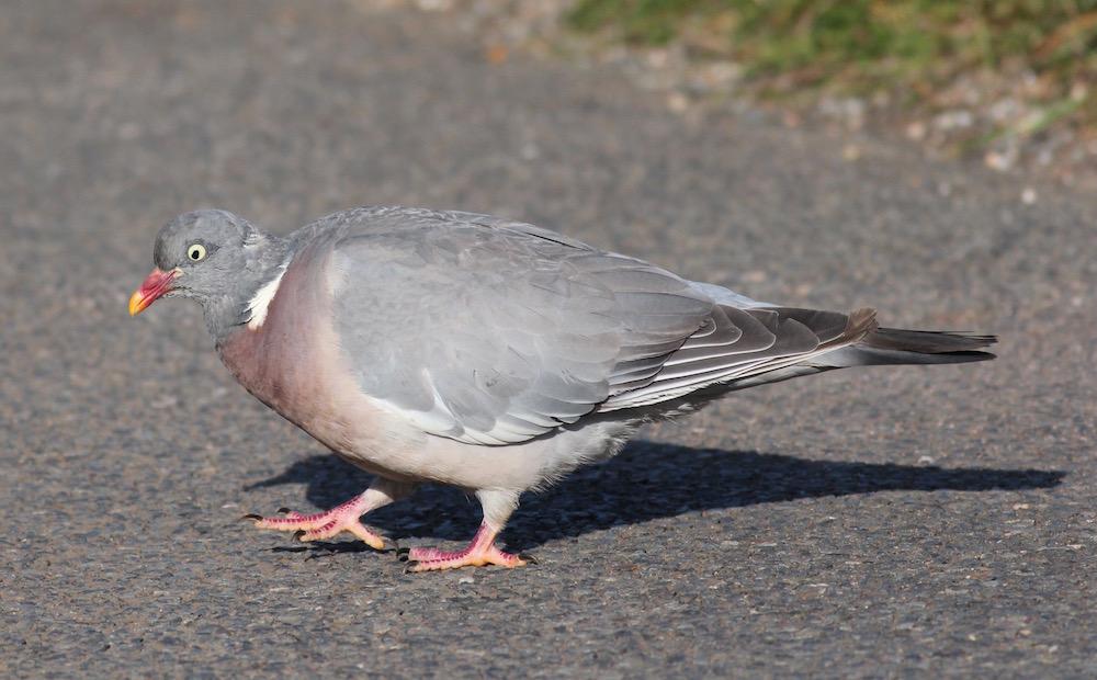 Die Ringeltaube - ein häufiger Vogel in Parks und Wäldern.
