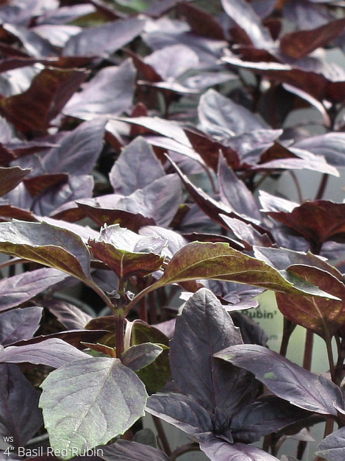 aac-basil-red-rubin.jpg