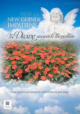 NEW GUINEA IMPATIENS DIVINE POP