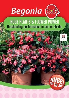 Begonia Big Page >