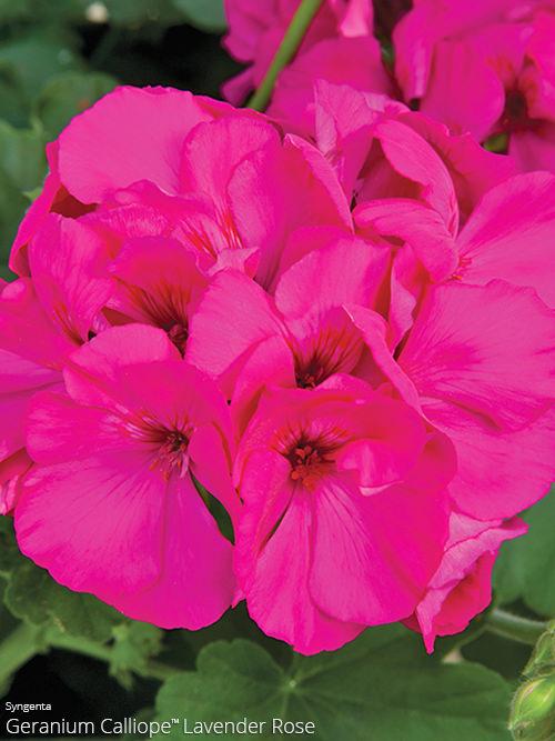 aac-geranium-calliope-5.jpg