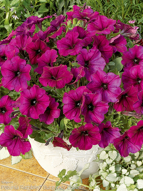 aac-petunia-ramblin-3.jpg