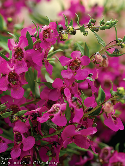 aac-angelonia-2.jpg