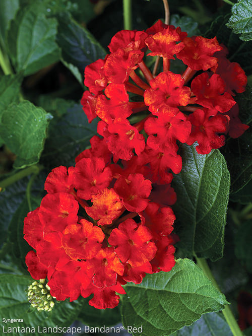 Lantana All About Color All About Color