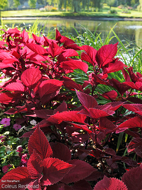 aac-coleus-collection-1.jpg