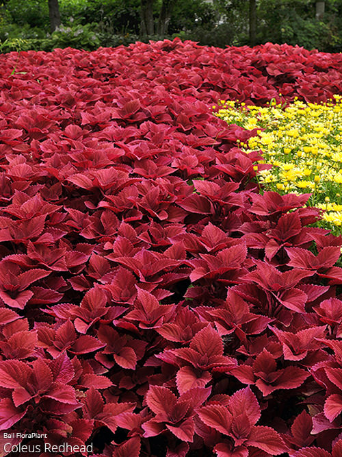coleus collection  all about color™, Beautiful flower