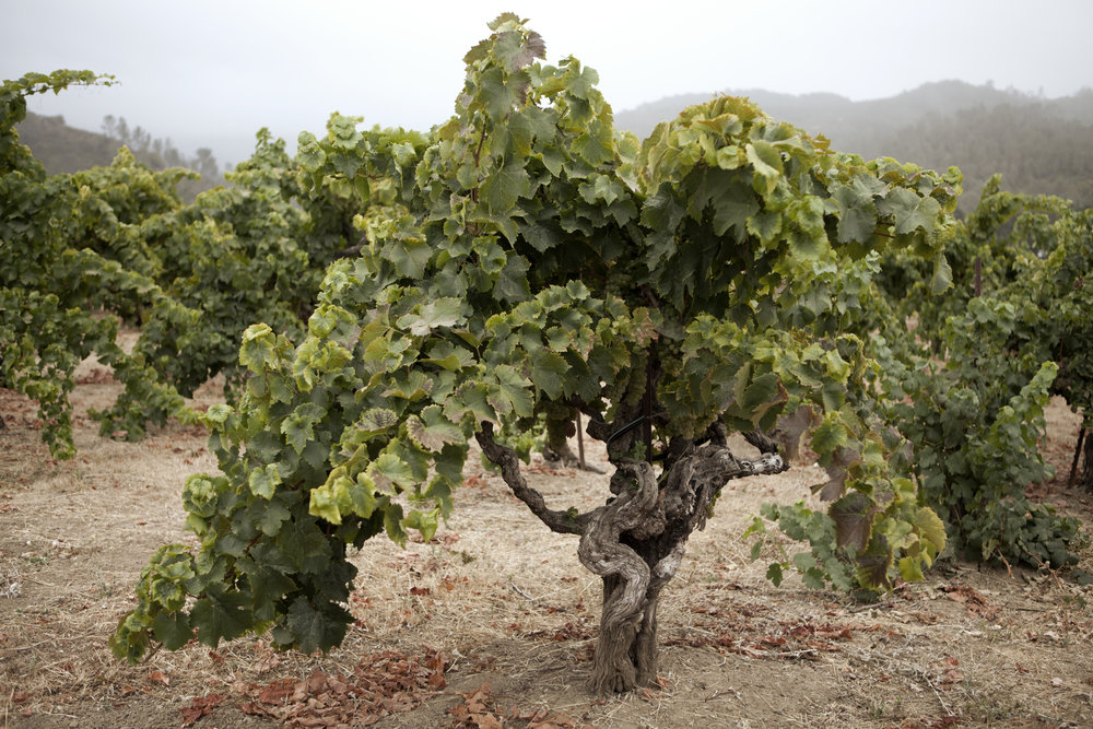 Old-vine Tocai at the Nichelini property in Eastern Napa (Planted in 1946)