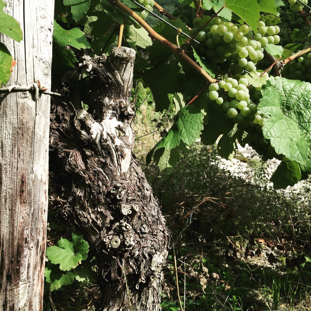 A 60 year old Riesling vine in Stefan's parcel of Wintricher Geirslay.