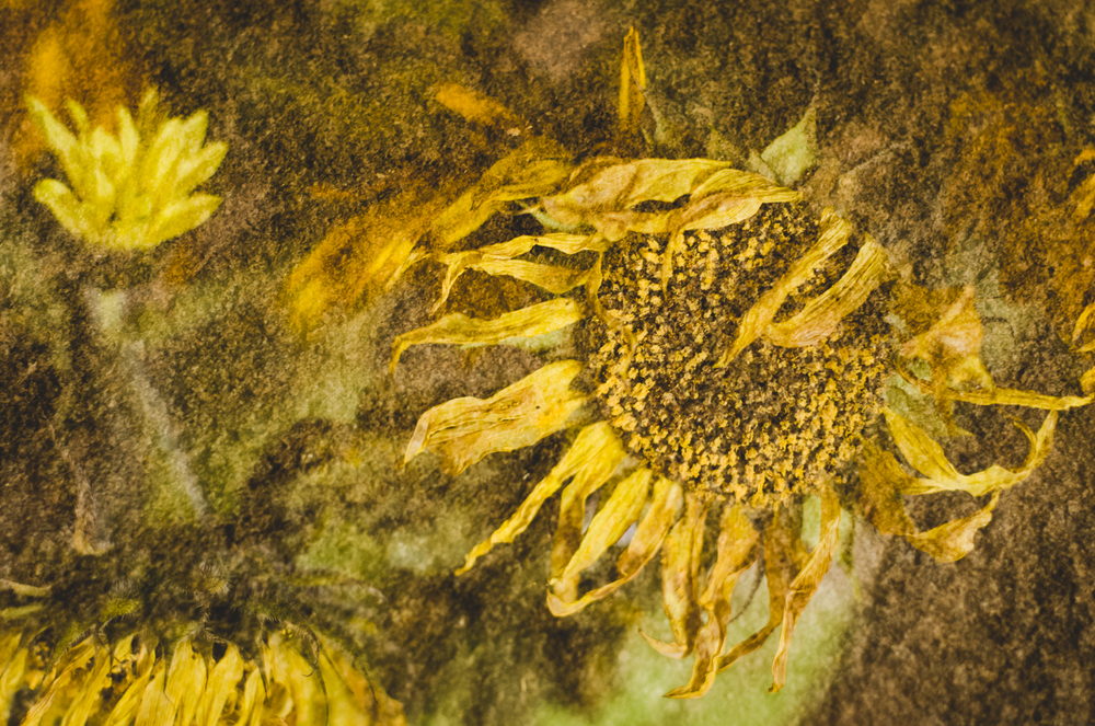 Dying Sunflower-4-experimental-2013.jpg