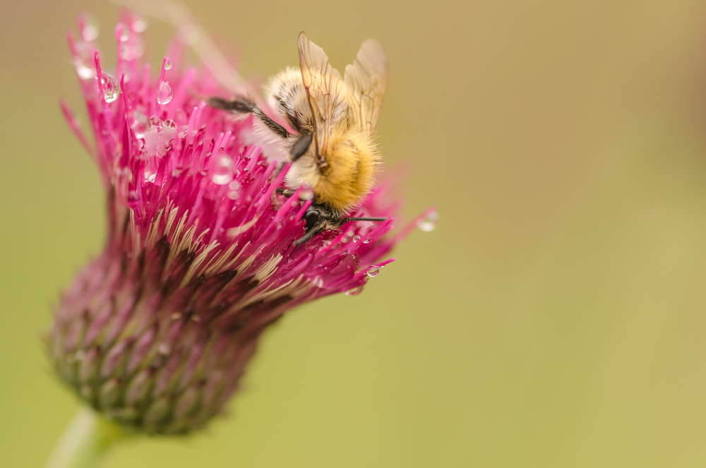 Bumblebee on Thistle-Original-2013.jpg