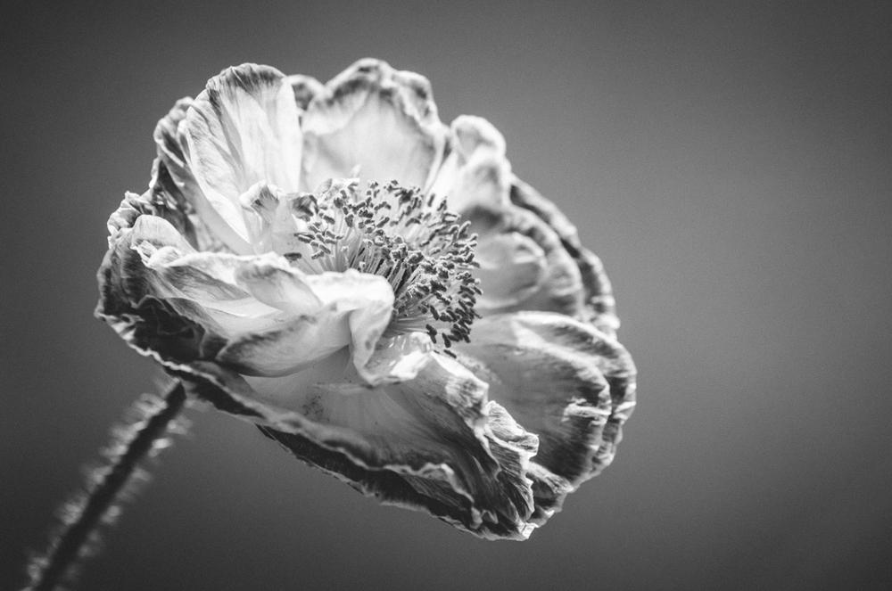Poppy-B&W-macro-2013.jpg