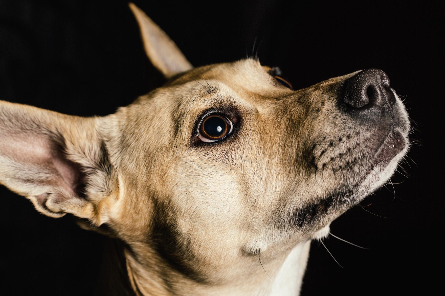 basenji, dingo, husky dog portraits