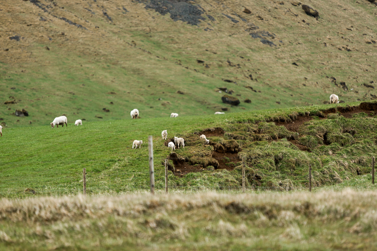 Sheep in a field near Skogafoss waterfall, Iceland