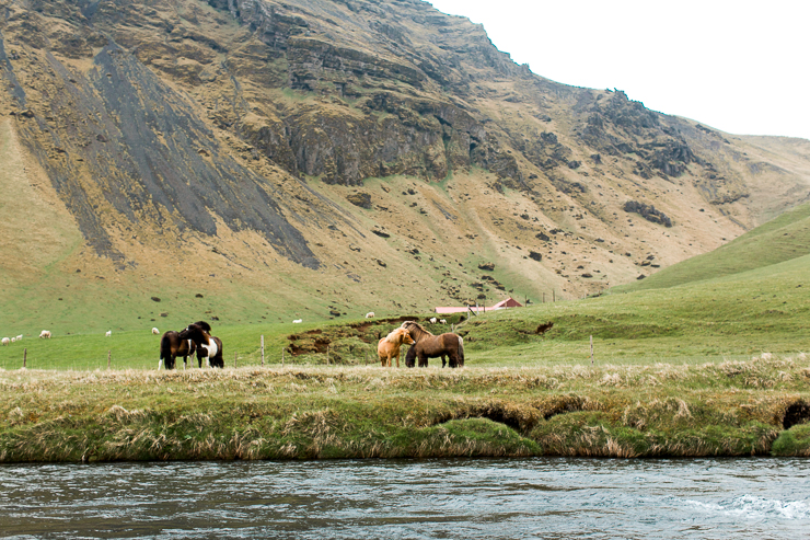 horses in a field near Skogafoss