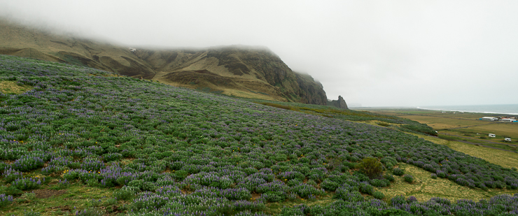 Alaskan Lupine on the hillside in Vik, Iceland
