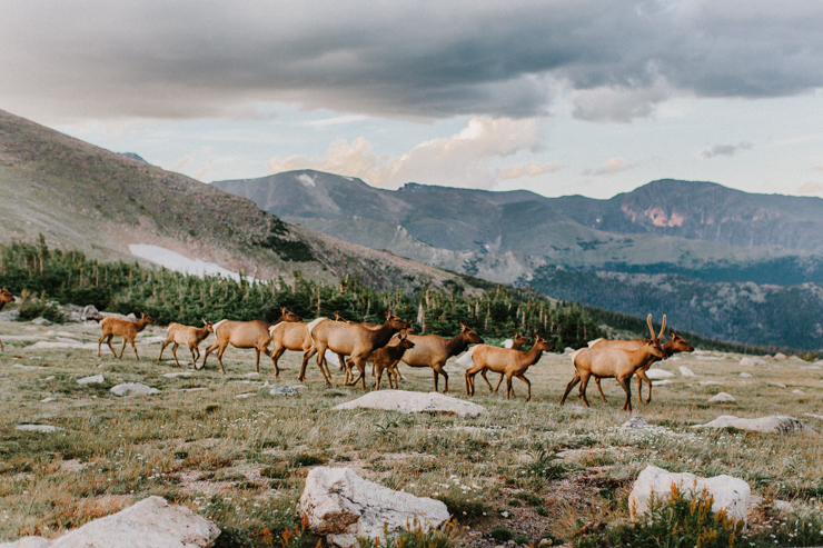 Elk traveling down the mountains in Rocky Mountain National Park, Colorado