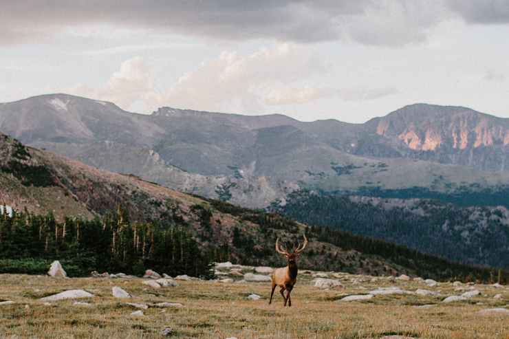 Elk Buck traveling down the mountains at sunset in Rocky Mountain National Park, Colorado