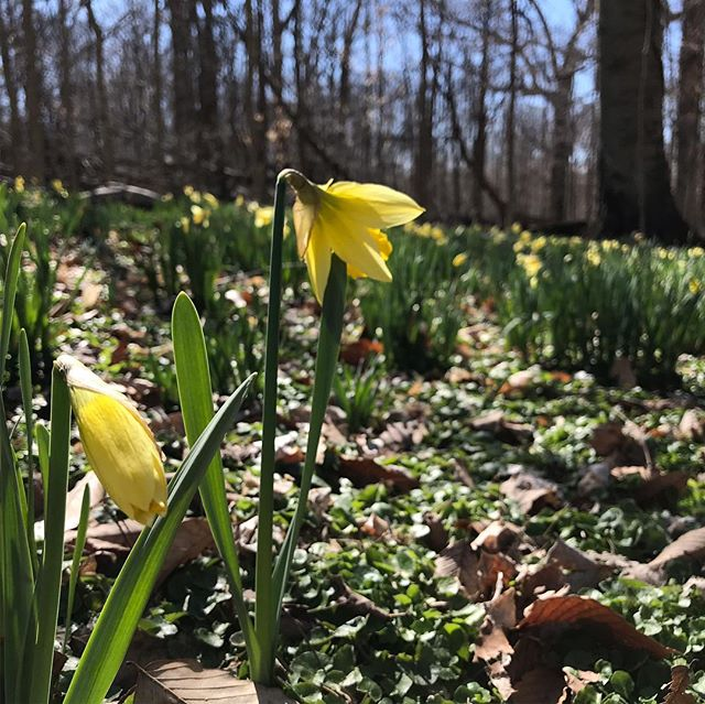 Daffodils are blooming at @cincynature