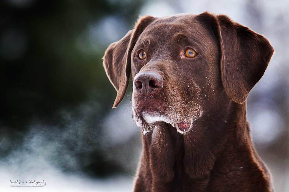 Gunnar.   Chocolate Labrador.   Nine years old.