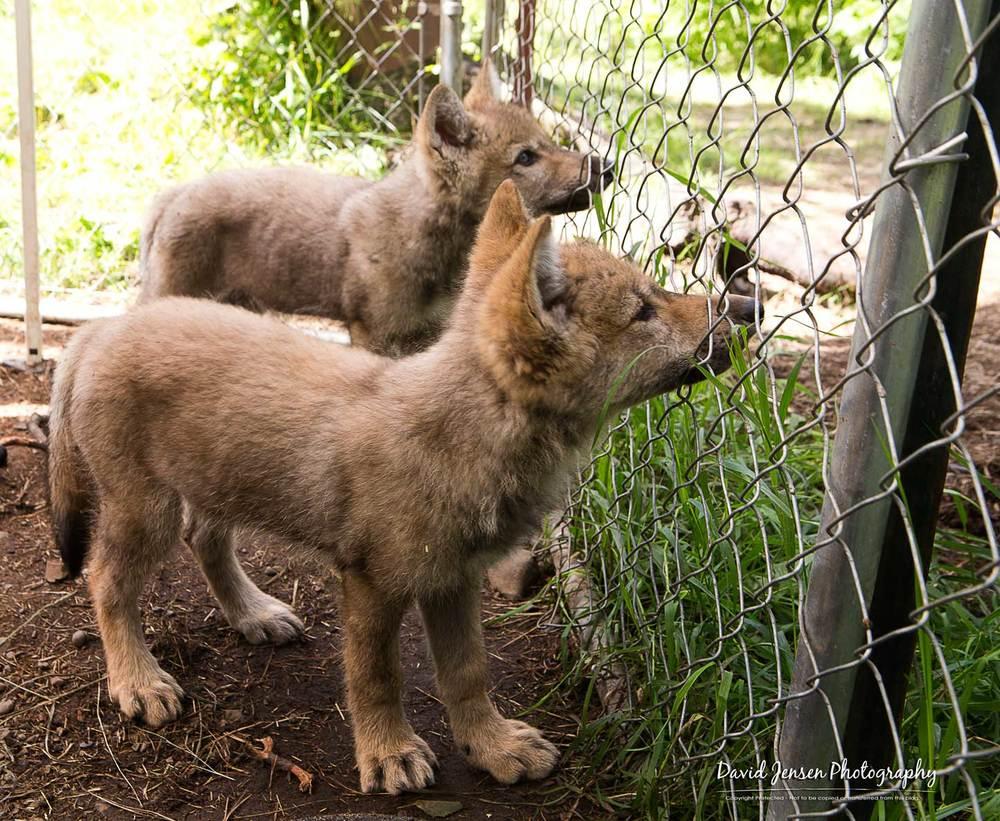 WolfPair2.jpg