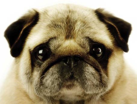 0026-Darby-Pugs[1].jpg
